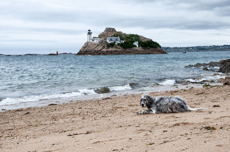 English Setter in der Baie de Morlaix