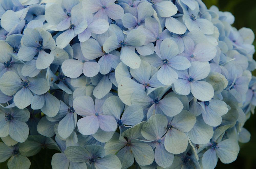 Blaue Hortensien in der Bretagne - Landschaftsfotografie Gudrun Itt ©