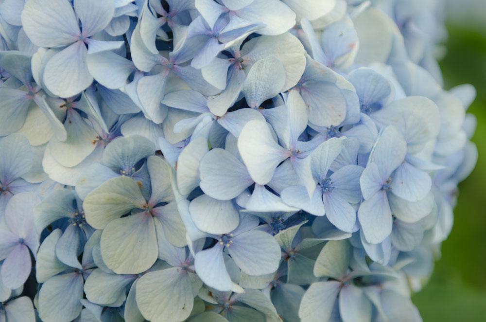 Blaue Hortensie in der Bretagne - Fotografie Gudrun Itt ©